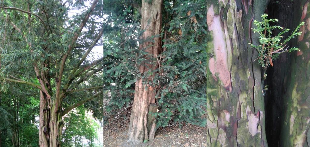 Eiben – magische unsterblichen Bäume