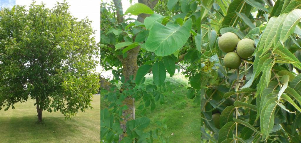 Walnussholz Baum und Blätter