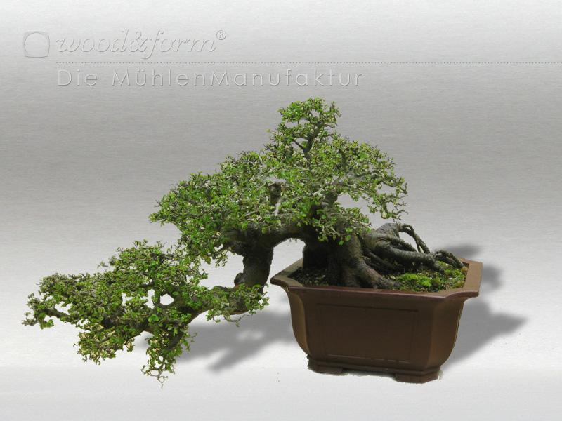 Ulme als Bonsai - Elm tree
